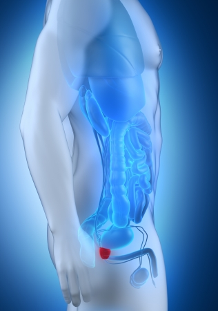 Male prostate anatomy lateral view Stock Photo - 21790563