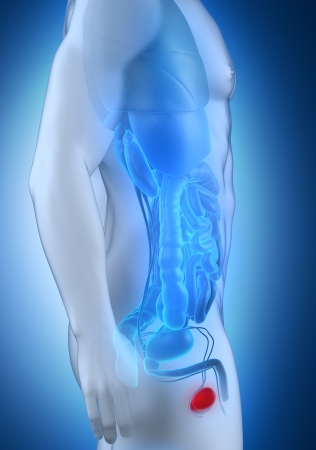 glans: Male testes anatomy lateral view Stock Photo