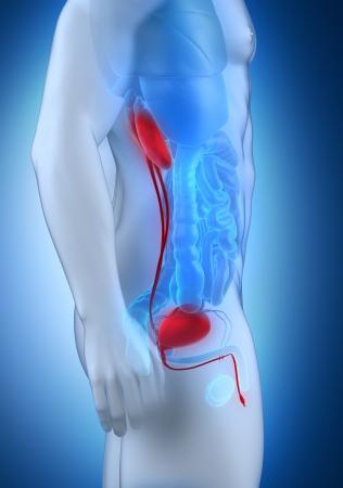 lateral: Sistema urinario masculino vista lateral anatom�a Foto de archivo