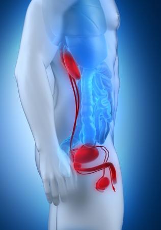 lateral: Hombre urogenital vista lateral anatom�a Foto de archivo