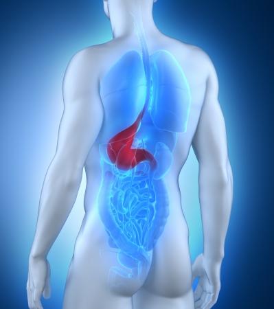 Male stomach anatomy posterior view Stock Photo - 21790571