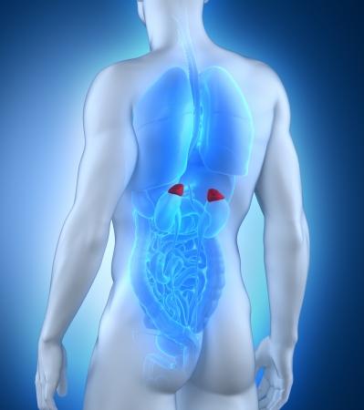 suprarrenales: Hombre adrenal anatomía vista posterior