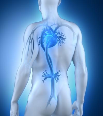heart pain: Male circulatory system