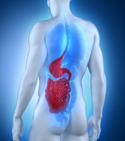 sistema digestivo: Male sistema digestivo Anatomía vista posterior Foto de archivo