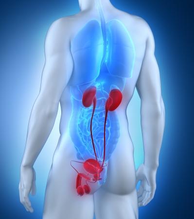 posterior: Male anatomy posterior view