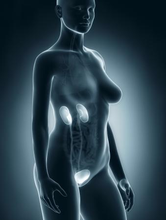 anatomy naked woman: Woman urogenital system anatomy