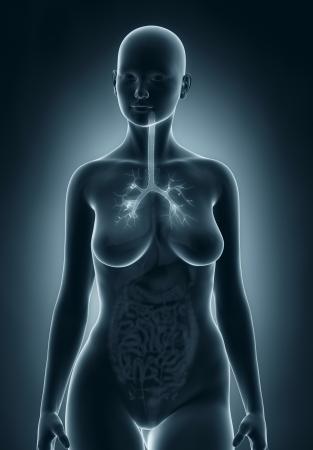 anatomy naked woman: Woman bronchial tree anatomy