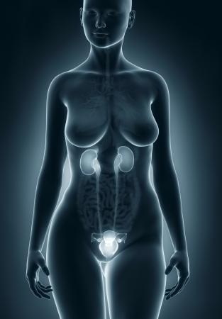 anatomy naked woman: Woman urogenital anatomy Stock Photo
