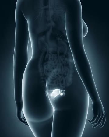 anatomy naked woman: Woman genitalia anatomy x-ray black posterior view