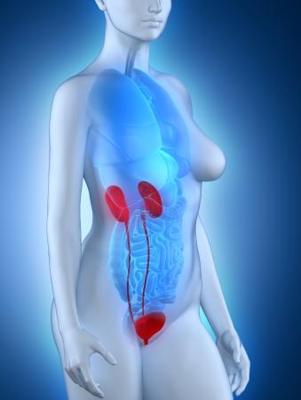 anatomy naked woman: Woman urinary system anatomy