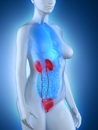 Woman urogenital anatomy photo