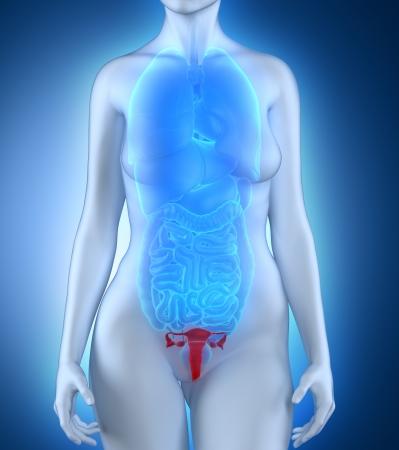 Woman genitalia anatomy photo