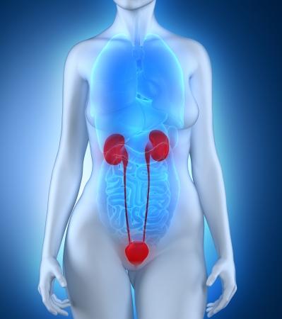 Woman urinary system anatomy photo
