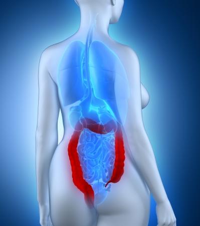 Woman colon anatomy white posterior view Stock Photo - 24342967