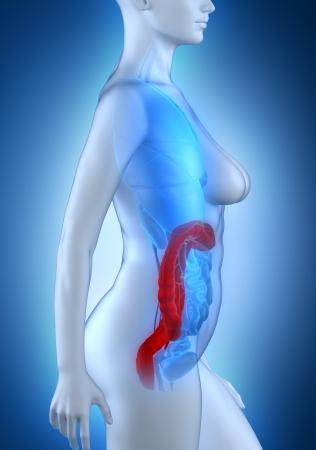 rectum cancer: Woman colon anatomy white lateral view Stock Photo