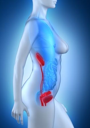 anatomy naked woman: Woman urogenital anatomy white lateral view