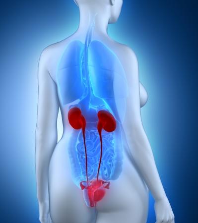 anatomy naked woman: Woman urogenital anatomy white posterior view