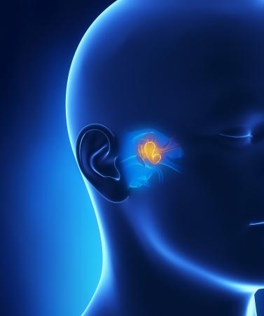 tympanic: Anatom�a del o�do medio