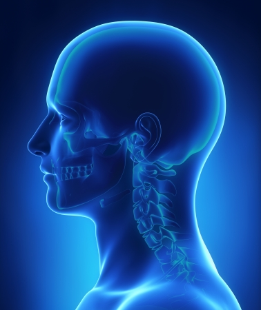 Head and skull anatomy Standard-Bild