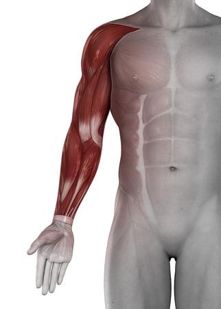 codo: Músculos masculinos brazo mano antomy aislado