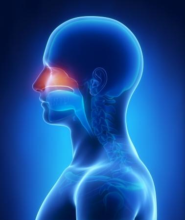 nariz: La cavidad nasal