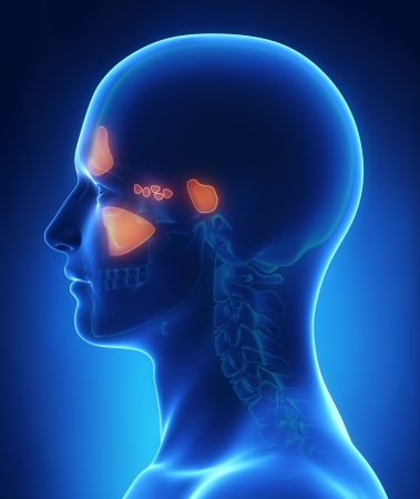 Sinus anatomy Stock Photo - 24993565