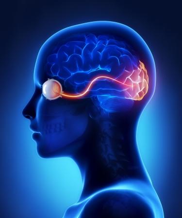 Oog en de visuele cortex zenuwen Stockfoto