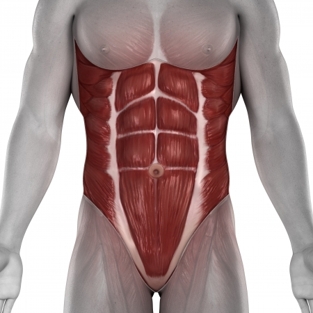abdominal muscles: Male abdomen muscles anatomy isolated