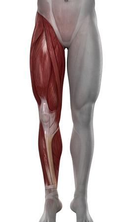 Male leg muscles anatomy isolated photo
