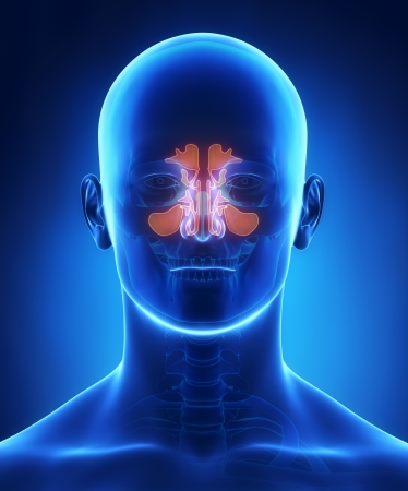副鼻腔の解剖学 写真素材
