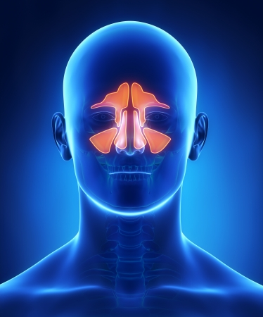 Sinuses anatomy Stock Photo
