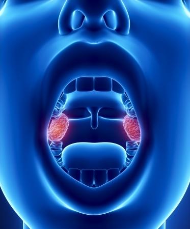 Amygdales anatomie Banque d'images - 24993671