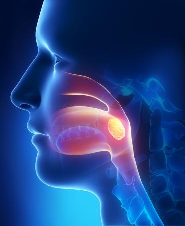 扁桃腺の側面図 写真素材