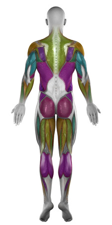 Male posterior muscles map colorized isolated photo