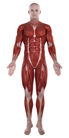 Man muscles anatomy isolated  anterior view