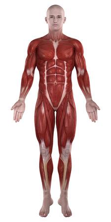 Man Muskeln Anatomie isoliert Ansicht von vorne