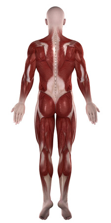 Man muscles anatomy isolated  posterior view Stock Photo