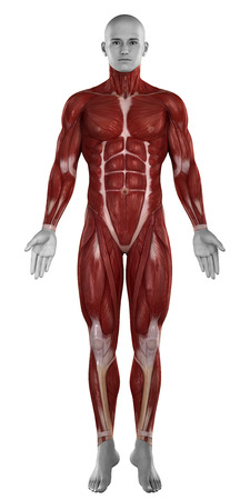 Man muscles anatomy isolated  anterior view photo