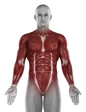 Man muscle anatomy isolated photo