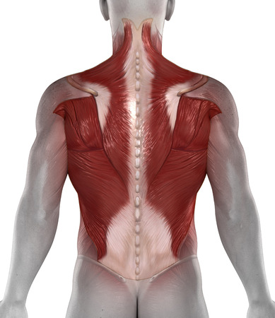 anatomy nude: Abs back muscles antomy  posterior view