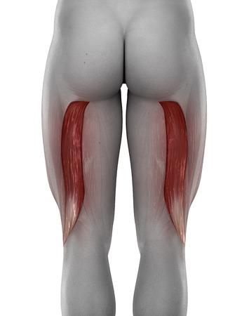male BICEPS FEMORIS anatomy posterior view isolated photo