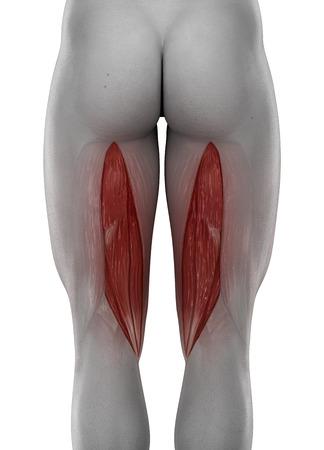 male SEMITENDINOSUS anatomy posterior view isolated photo