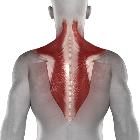 Trapezius male muscles anatomy posterior view isolated