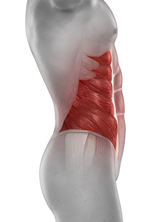 Man External Oblique Muscle Anatomy Isolated Stock Photo Picture