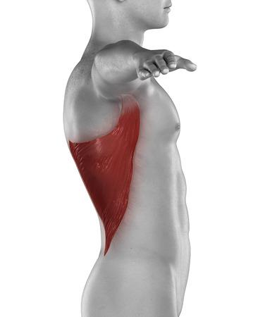 Man LATISSIMUS DORSI muscle anatomy isolated photo