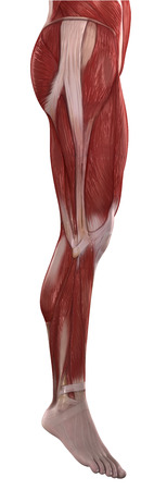 Legs muscles anatomy isolated