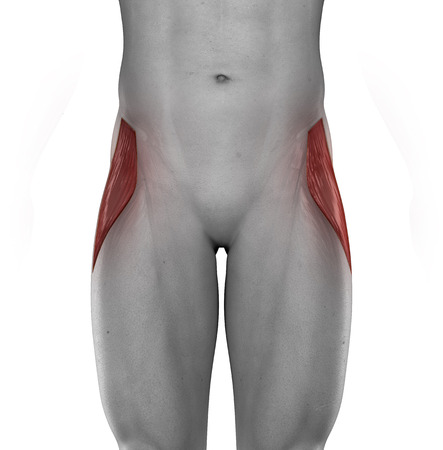 Tensor fasciae lateae male muscles anatomy anterior view isolated photo