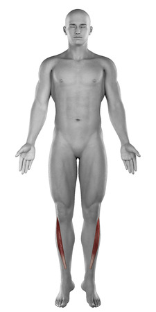 Tibialis anterior male muscles anatomy anterior view isolated photo