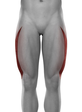 Vastus lateralis male muscles anatomy anterior view isolated photo