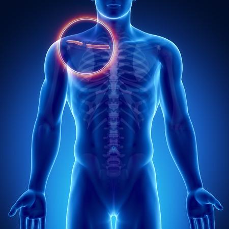 clavicle: Male bone anatomy clavicle